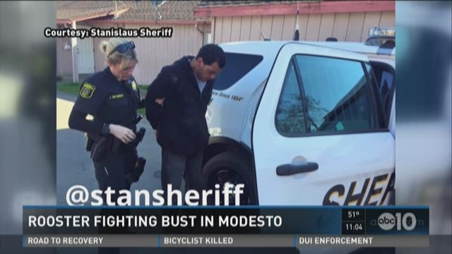 One arrested in Modesto rooster fighting ring