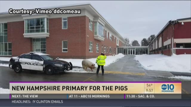 Everybody and the pig show up for NH primary poll