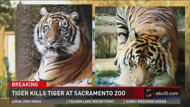 Tiger kills potential mate at Sacramento Zoo