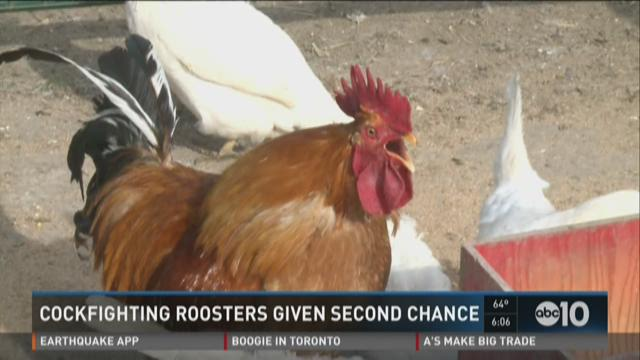 Cockfighting roosters given second chance.