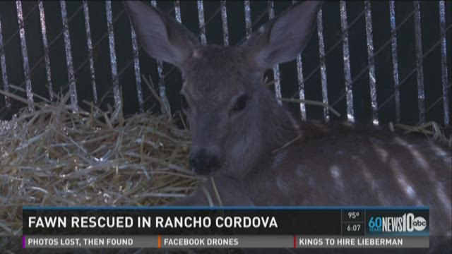 Fawn rescued in Rancho Cordova
