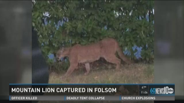 Mountain lion captured in Folsom